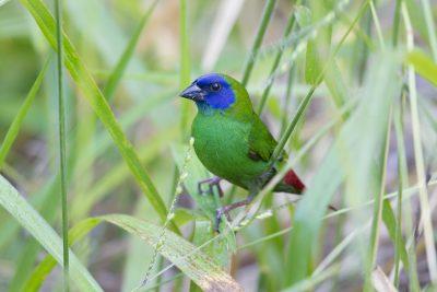 Blue Faced Parrot Finch (Male - Erythrura trichroa macgillivrayi) - Mt Lewis, QLD (4)