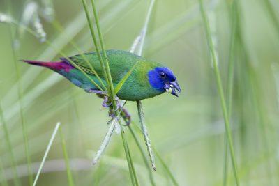 Blue Faced Parrot Finch (Male - Erythrura trichroa macgillivrayi) - Mt Lewis, QLD