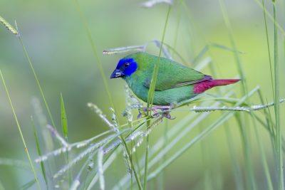 Blue Faced Parrot Finch (Male - Erythrura trichroa macgillivrayi) - Mt Lewis, QLD (5)