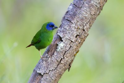 Blue Faced Parrot Finch (Male - Erythrura trichroa macgillivrayi) - Mt Lewis, QLD (6)