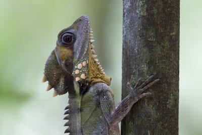Boyd's Forest Dragon.
