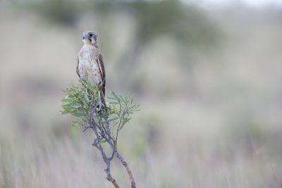 Brown Falcon (Falco berigora berigora) - Barkley Tablelands, NT