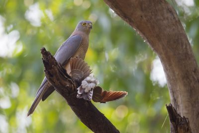 Brown Goshawk with Prey (Bar-shouldered Dove) Accipiter fasciatus didimus - Howard Springs Nature Reserve, NT