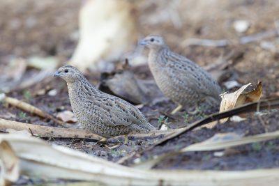 Brown Quail (Coturnix ypsilophora australis) - Edith Falls, NT (2)