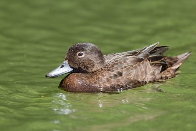 Brown Teal  - Northland, New Zealand