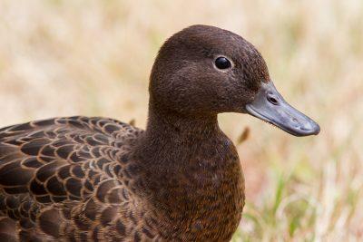Brown Teal (Profile)  - Titititi Matungi Island, NZ