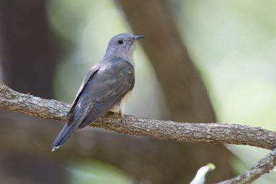 Brush Cuckoo (Cacomantis variolosus dumetorum) - Arnhemland, NT (2)