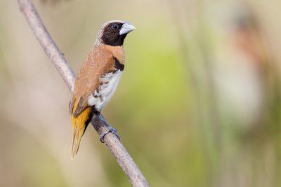 Chestnut-breasted Mannikin (Back - Lonchura castaneothorax castaneothorax) - Casuarina Coastal Reserve, NT (3)