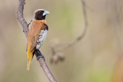 Chestnut-breasted Mannikin (Back - Lonchura castaneothorax castaneothorax) - Casuarina Coastal Reserve, NT