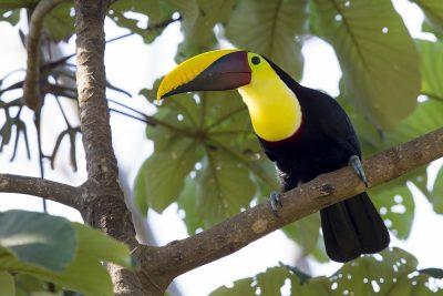Chestnut-mandibled Toucan - Costa Rica