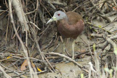 Chestnut Rail (Eulabeornis castaneoventris castaneoventris) - Buffalo Creek, NT