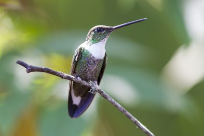 Collared Inca (Female) - Bellavista, Upper Tandayapa Valley, Ecuador.