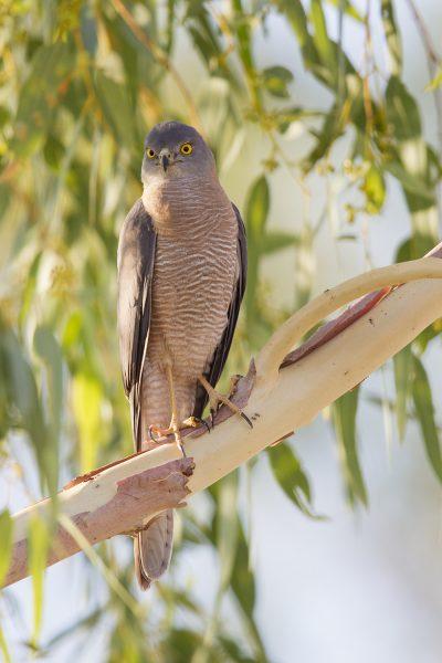 Collared Sparrowhawk (Accipiter cirrocephalus cirrhocephalis) - Buntine Highway, NT