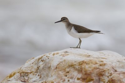 Common Sandpiper (Actitis hypoleucos) - Nightcliff, NT