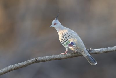 Crested Pigeon (Ocyphaps lophotes lophotes) - Top Springs, NT