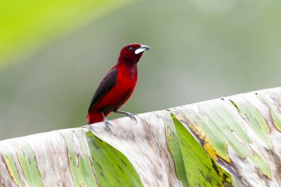 Crimson-backed Tanager (Male)