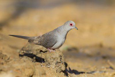 Diamond Dove (Geopelia cuneata) - Edith Falls, NT (2)