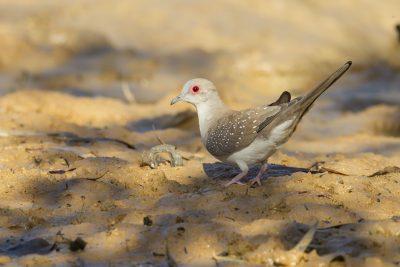 Diamond Dove (Geopelia cuneata) - Edith Falls, NT