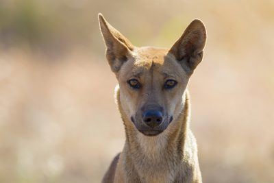 Dingo (Profile)