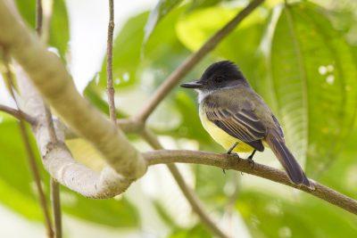 Dusky-capped Flycatcher - Rio Salanche Reserve, Ecuador