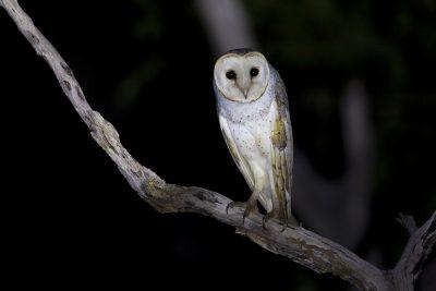 Eastern Barn Owl (Tyto alba delicatula) - Fogg Dam, NT (2)