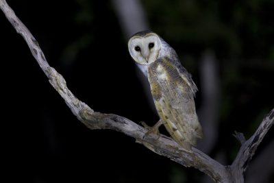 Eastern Barn Owl (Tyto alba delicatula) - Fogg Dam, NT