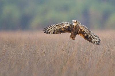 Eastern Grass Owl (Tyto longimembris longimembris) - Holmes Jungle, NT