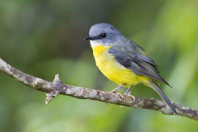 Eastern Yellow Robin (Eopsaltria australis chrysorrhoa) - Atherton, QLD (3)