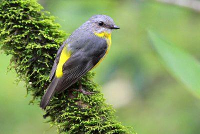 Eastern Yellow Robin (Eopsaltria australis chrysorrhoa) - Atherton, QLD