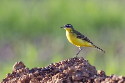 Eastern Yellow Wagtail (Motacilla flava tschutschensis) - Leanyer Sewage Ponds, NT