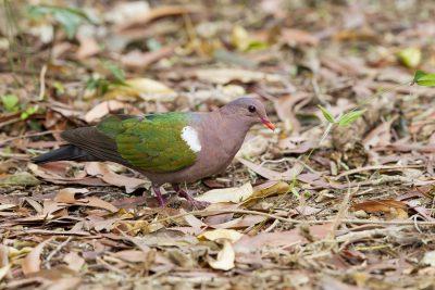 Emerald Dove (Chalcophaps indica longirostris) - Casuarina Coastal Reserve, NT (2)