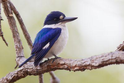 Forest Kingfisher (Todiramphus macleayii macleayii) - Darwin, NT (4)