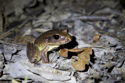 Giant Northern Barred Frog - Julatten, QLD