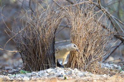 Great Bowerbird (Ptilonorhynchus nuchalis) - Channel Island, NT (2)