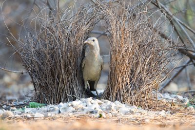 Great Bowerbird (Ptilonorhynchus nuchalis) - Channel Island