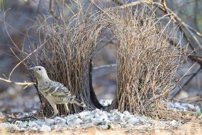 Great Bowerbird (Ptilonorhynchus nuchalis) - Channel Island, NT