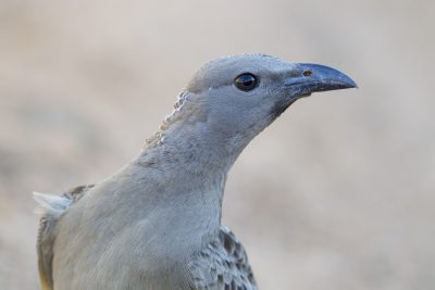 Great Bowerbird (Ptilonorhynchus nuchalis) - Edith Falls, NT