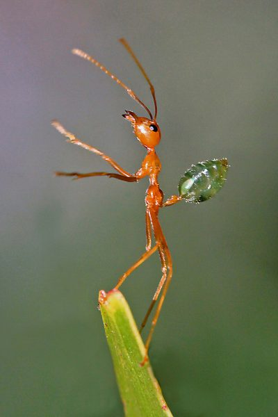 Green Ant's (2)