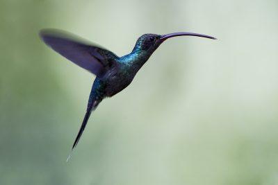 Green Hermit (Male in flight)