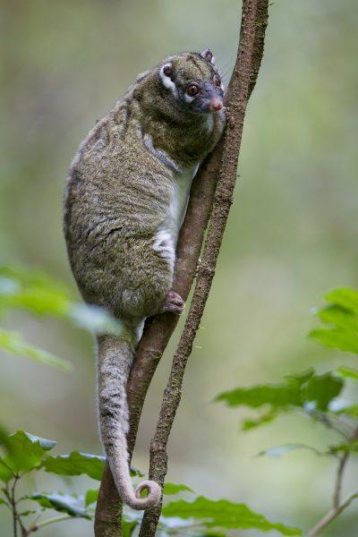 Green Ringtailed Possum