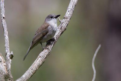 Grey Shrike-thrush (Colluricincla harmonica strigata) - Tasmania