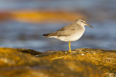 Grey-tailed Tattler (Tringa brevipes) - Nightcliff Foreshore, NT