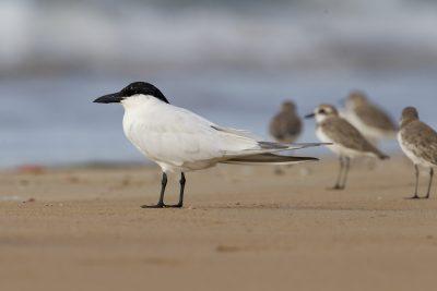 Gull-billed Tern (Gelochelidon nilotica macrotarsa) - Sandy Creek, NT (2)