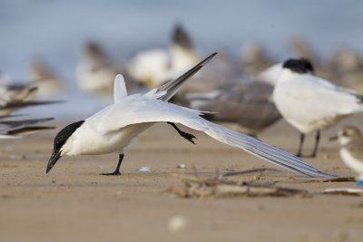 Gull-billed Tern (Gelochelidon nilotica macrotarsa) - Sandy Creek, NT