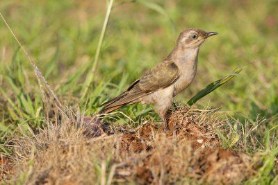 Horsfields Bronze-Cuckoo - Adult (Chalcites basalis) - Casuarina Coastal Reserve, NT (2)