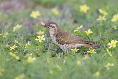 Horsfields Bronze-Cuckoo - Adult (Chalcites basalis) - Casuarina Coastal Reserve, NT (4)