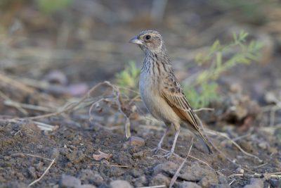 Horsfield's Bushlark (Mirafra javanica soderbergi) - Top Springs, NT