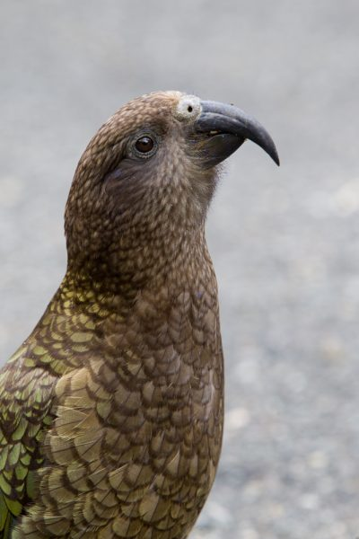 Kea - South Island, New Zealand