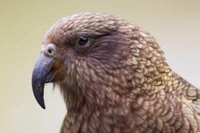 Kea Profile - South Island, New Zealand