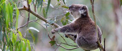 Koala Front